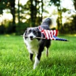 Dog running through grass holding American flag in its mouth